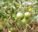 24022008many_small_late_green_tomatoes_on_vine.jpg
